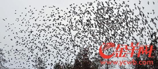湛江吴川里坡村持续12年上演万鸟归巢奇景(图)