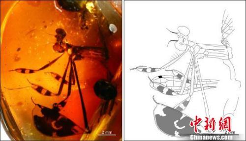 """琥珀化石""""再现""""一亿年前蜻蜓求偶行为(图)"""