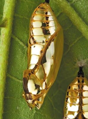 这蝴蝶蛹 可以拿来做胸针了