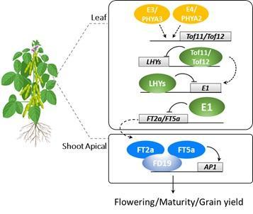 科普直擊 | 種豆五千年,科學家終于找到它開花的秘密了!